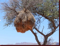 Weaver-bird-nest-dec-2011-for-web