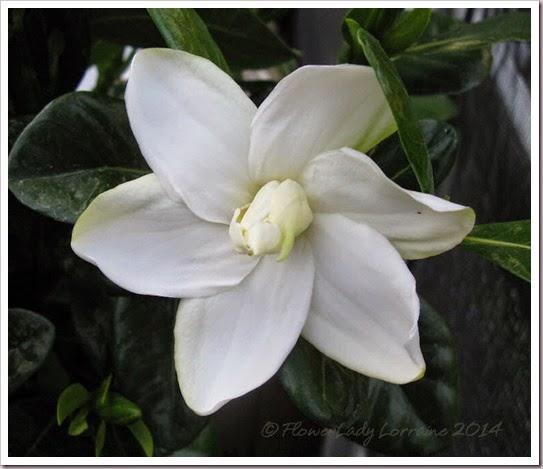 04-23-tahitian-gardenia2