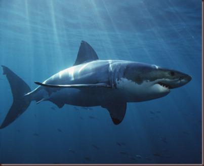 Amazing Animals Pictures White Shark (12)