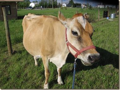 Cow 003