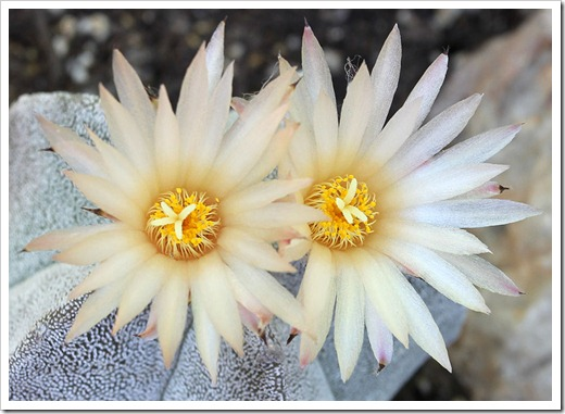 110731_Astrophytum_myriostigma_06