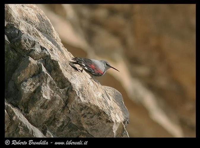 06_Picchio muraiolo (66)c (Medium)