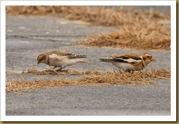 - Snow Buntings D7K_8873 November 17, 2011 NIKON D7000
