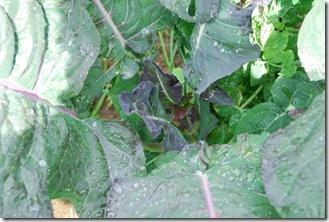 Brócolos roxos  DSC_0472DSC_046901