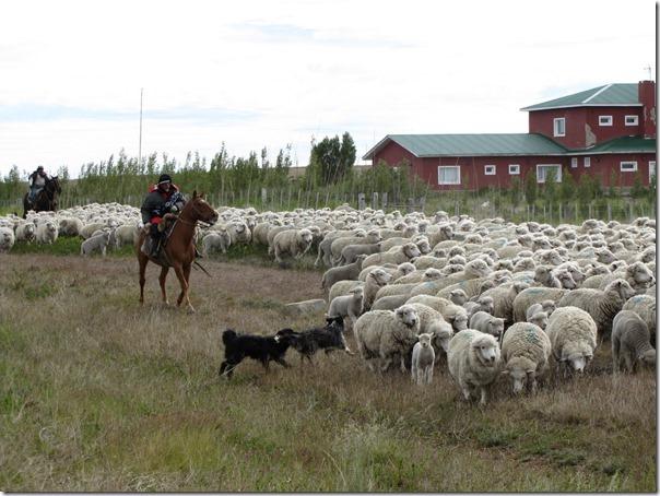 Ovelhas Pastando (7)