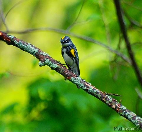 2. Yellow-rumped warbler in yard-kab