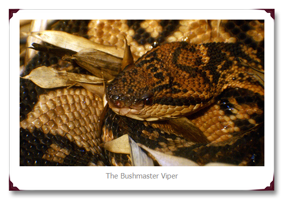 Bushmaster Viper Snake