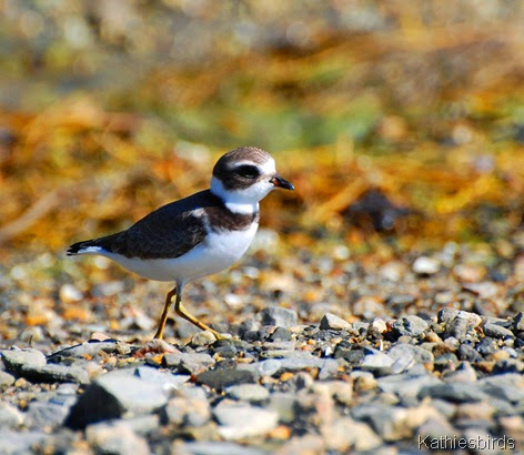 1. semipalmated plover-kab