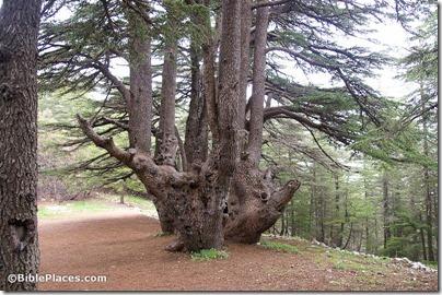 Cedar of Lebanon, adr090510661
