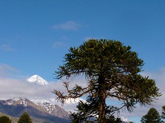 Araucania (Monkey Puzzle) tree and Volcan Lanin in Parque Nacional Lanin, Argentina.