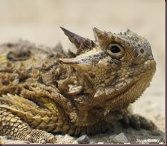 Amazing Pictures of Animals, photo, Nature, exotic, funny, incredibel Zoo, Horned lizard, Phrynosoma, Reptilia, Alex (21)
