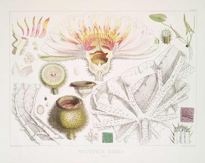 Victoria_Regia._(Analyses)_(1851)