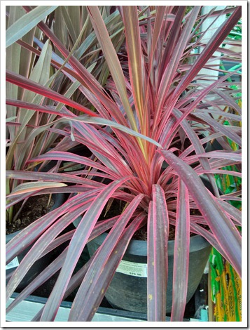 130311_Cordyline-banksii-Electric-Pink10