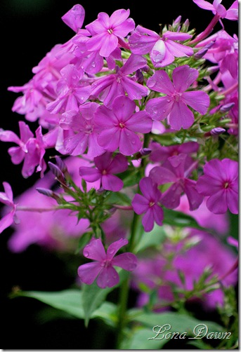 Phlox_Nicky_July