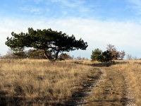 Mogočen bor ob poti