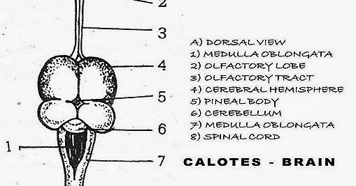 Rabbit brain anatomy