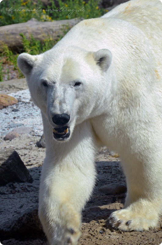 Wremen 20zwölf Tag 6 Zoo am Meer - Eisbär (2)