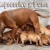 Impressive_Puma_puppies2.jpg