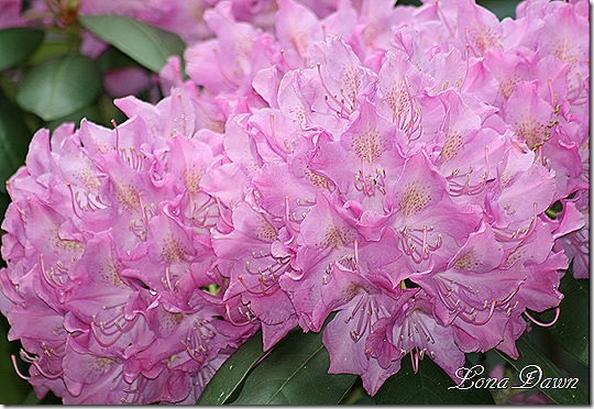 Rhododendron_PJM_May26