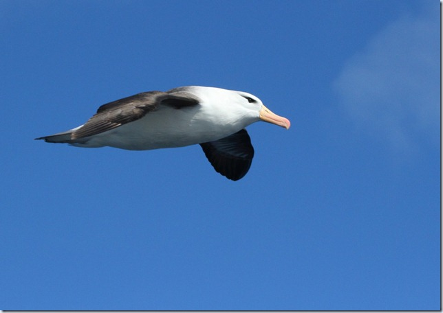 black-browed_albatross2