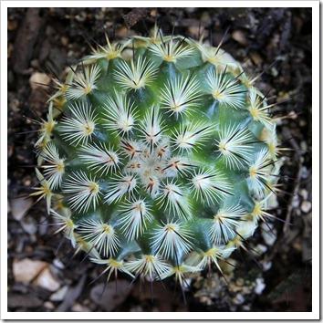 110804_Mammillaria-microhelia_05