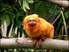 mico leão dourado