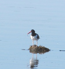 cape cod 8.2013 oyster catcher at beach2