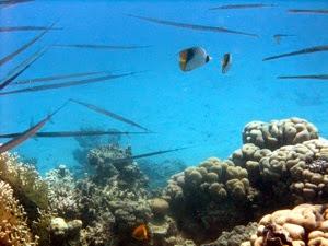 Pipe Fish