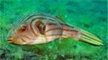 Nouvelle-Calédonie poisson ballon pyjama