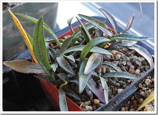 111219_Euphorbia-francoisii