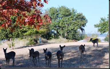 Lago Vista Dec 9 2010 - deers in Flock