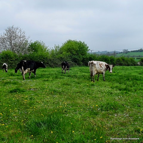 wild flowers and grazing cows