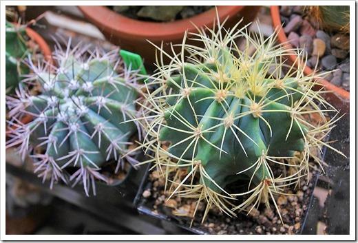 130623_Ferocactus-glaucescens- -Melocactus-azureus_01