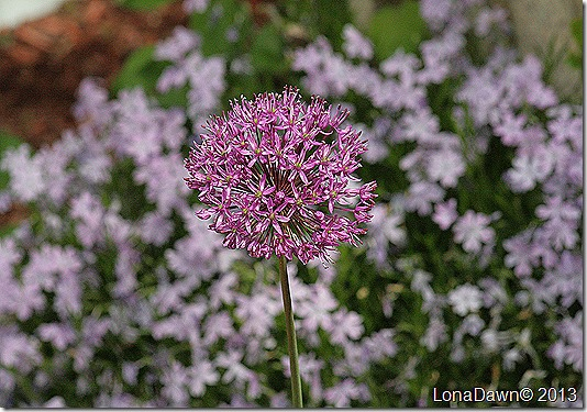 Allium_Persian_Blue2