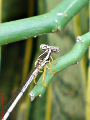 Copera marginipes_Yellow Featherlegs_capung jarum 04