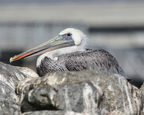 Stunning Brown Pelican at rest