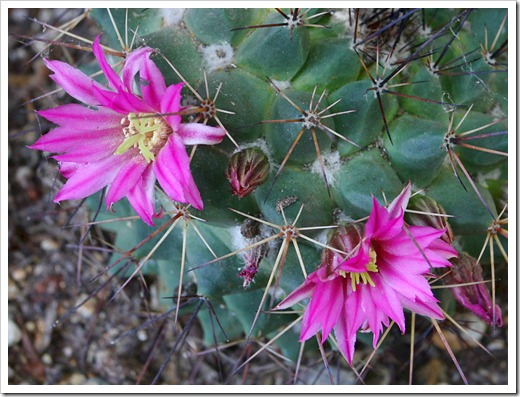 120512_Mammillaria-bocensis_02