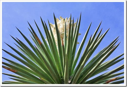 130413_RBG_Yucca-carnerosana_05