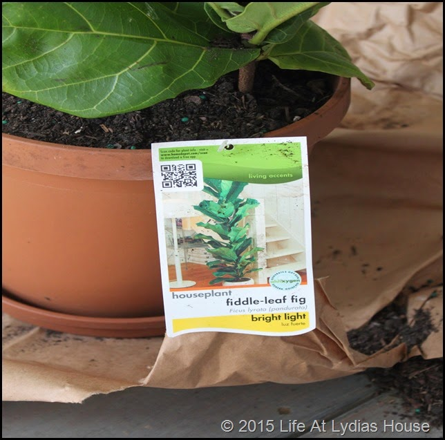 fiddle leaf fig care tag a