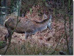 red deer hind Feb 2014