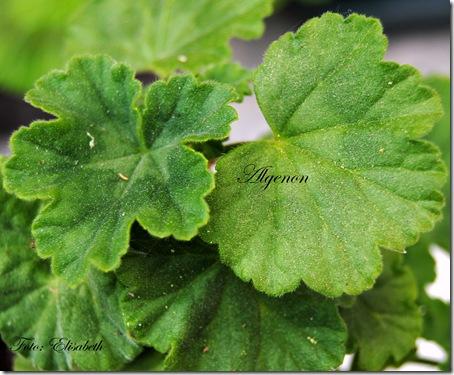Pelargonium 16 juni -14 017