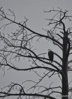 Bald Eagle #2