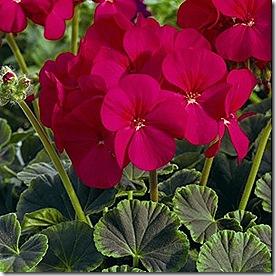 geranium_bullseye_cherry_2