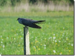 Ian's terrific Cuckoo picture