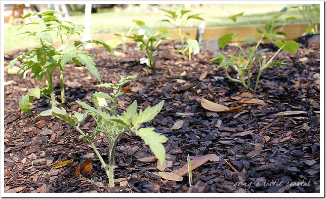 tomatoes_edited-1