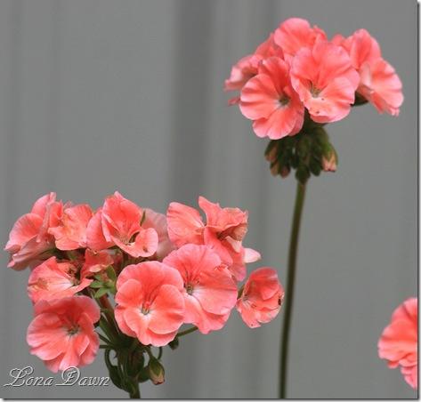Geranium_Pelargonium_Salmon
