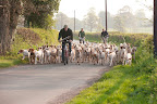 The hounds coming back through Luckington lane after a brisk walk