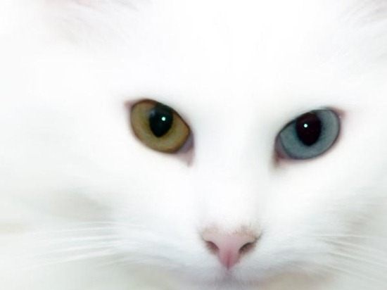 heterochromia in cats white