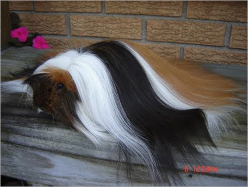 Peruvian Satin Guinea Pig 01