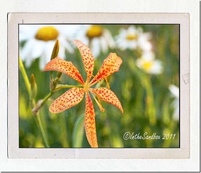Blackberry-Lily-in-Polaroid